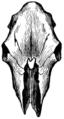 Hornless skull, from the Dunshaughlin crannoge (Evolution of British Cattle).png