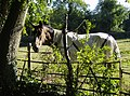 Horse near Littlebottom Wood - geograph.org.uk - 558019.jpg