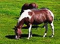 Horses Grazing (4840982575).jpg