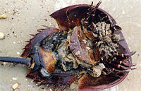 Horseshoe crab female.jpg
