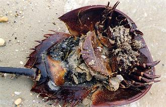 Chelicerata - Horseshoe crab underside