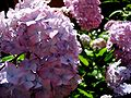 Hortensialilac.jpg
