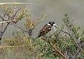 House Sparrow (Passer domesticus) (25766461928).jpg