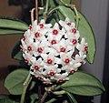 Hoya carnosa (wax plant) (26118330213).jpg