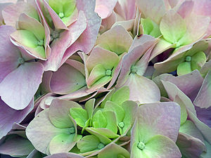 Hydrangea - Image: Hydrangea close up