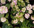 Hydrangea flowers white.jpg