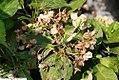 Hydrangea macrophylla Madame Emile Mouillere 1zz.jpg