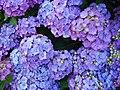 Hydrangea multicolored.jpg