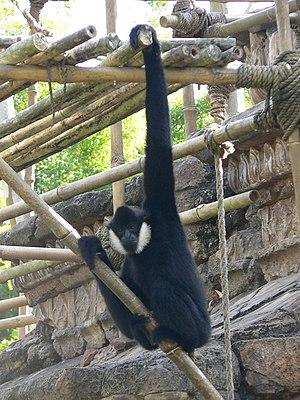 Nomascus - Northern white-cheeked gibbon Nomascus leucogenys