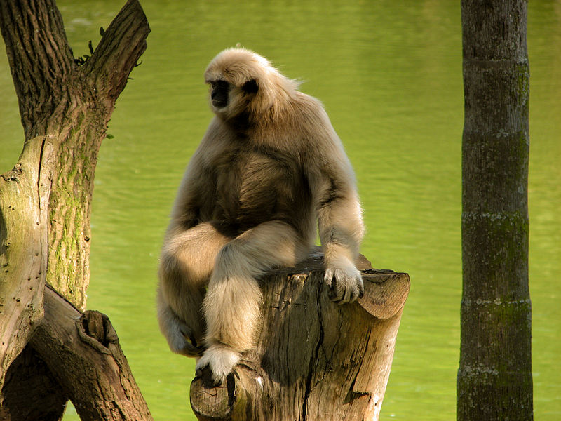 File:Hylobates lar sitting on a stump over water.jpg