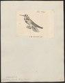 Hylocharis superba - 1700-1880 - Print - Iconographia Zoologica - Special Collections University of Amsterdam - UBA01 IZ19100533.tif