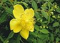 Hypericum cerastioides Silvana - St. John's Wort.jpg