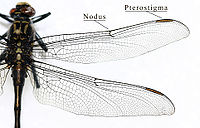 Wing structure of a dragonfly