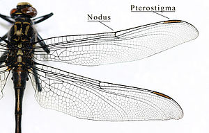 Pterostigma - Wing of a dragonfly of the family Gomphidae, showing the pterostigma