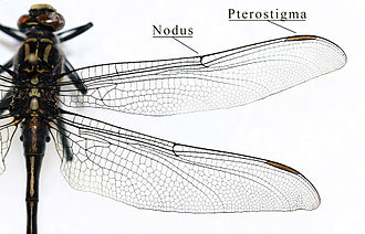 Insect wing - Image: IC Gomphidae wing