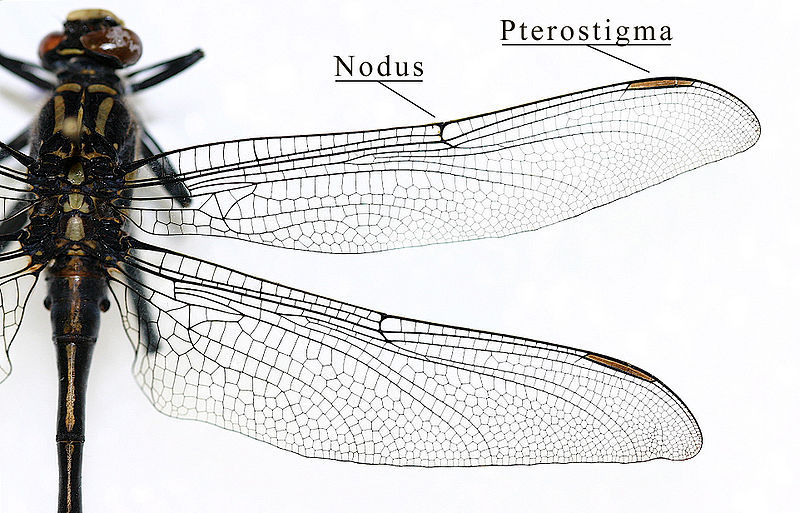 File:IC Gomphidae wing.jpg