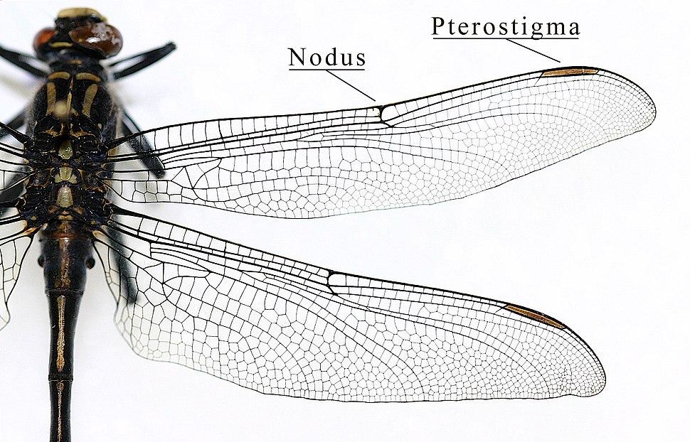 IC Gomphidae wing