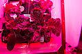 ISS-44 VEGGIE Red Romaine Lettuce.jpg