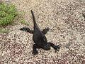 IguanaMarina.JPG