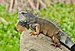 Iguana iguana Portoviejo 02.jpg