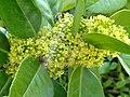 Ilex latifolia - Villa Taranto (Verbania) - DSC03696.JPG