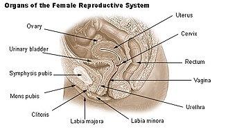 Labia - Image: Illu repdt female
