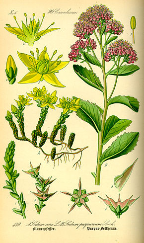 Description de l'image Illustration Sedum telephium0.jpg.