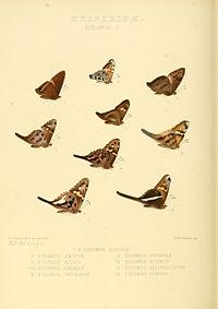 Illustrations of new species of exotic butterflies Eudamus II.jpg