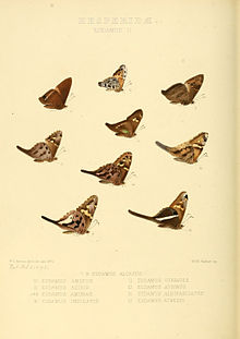 Illustrations of new species of exotic butterflies Eudamus II.jpg