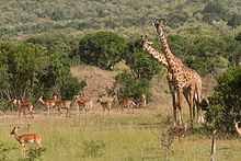 Two giraffes stand, surrounded by impalas (a type of antelope).