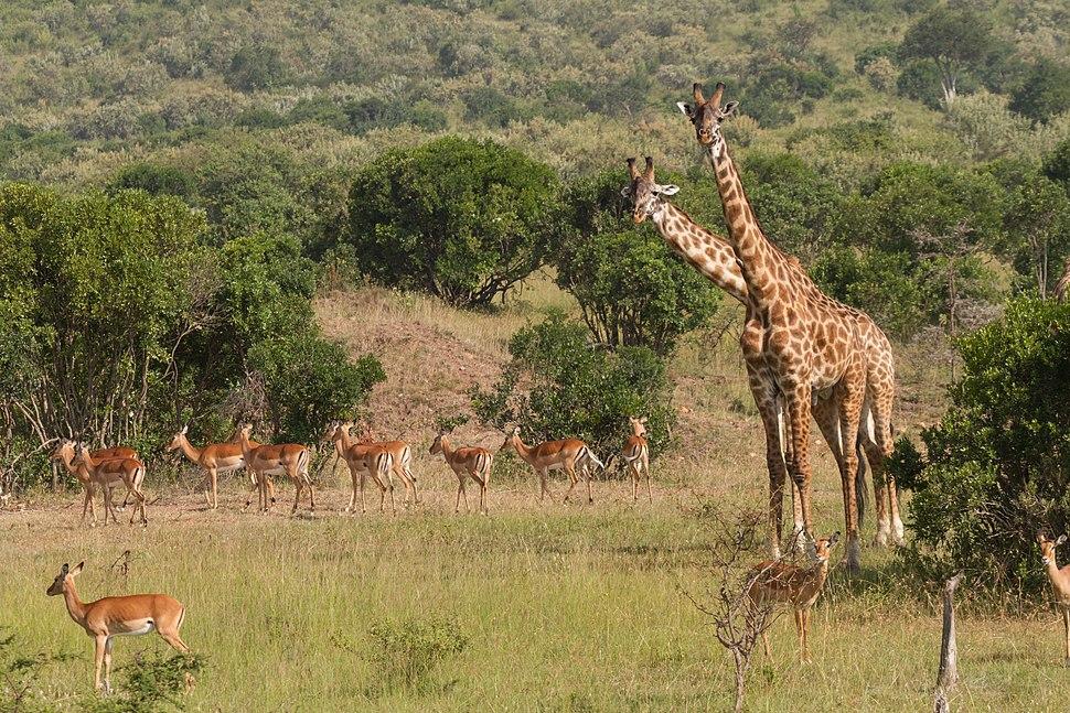 Impalas and Giraffes Benh