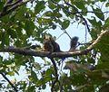 Indian Giant Squirrel. Ratufa indica elphenstoni - Flickr - gailhampshire.jpg