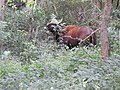 Indian gaur-2-mundanthurai-tirunelveli-India.jpg
