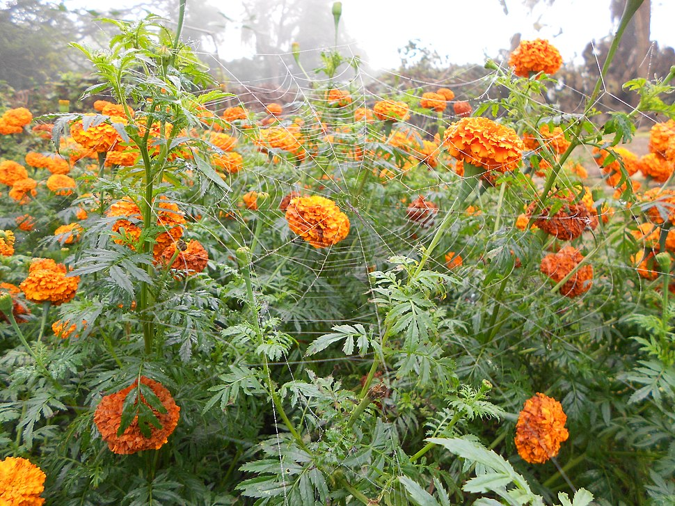 Indian marigold