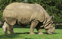 Les hommes et les rhinocéros dans RHINOCEROS 220px-Indian_rhinoceros