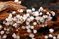 Infected Trichiaceae slime mold Lindsey 2.jpg