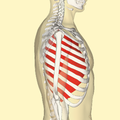 Innermost intercostal muscles lateral.png