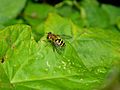 Insect hoverfly 20070710 0103.jpg