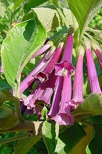 Iochroma grandiflora1MTFL