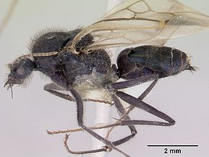 Meat ant - Specimen image of a male