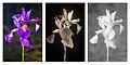 Iris sibirica 'Tropic-night' flower Multispectral comparison Vis UV IR.jpg