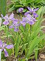 Iris tectorum2.jpg