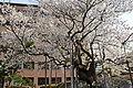 Ishiwari-zakura (4095787388).jpg
