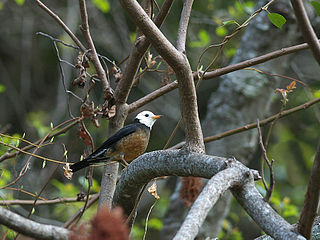 Taiwan thrush subspecies of bird