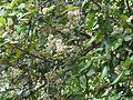 Ixora brachiata (4226848791).jpg