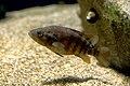 Japan fish, Coreoperca kawamebari (15601778200).jpg