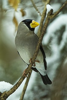 Japanese Grosbeak - Honshu - Japan S4E2393 (22418840923).jpg