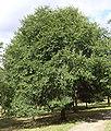 Japanese elm.jpg
