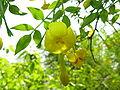 Jasminum humile2.jpg
