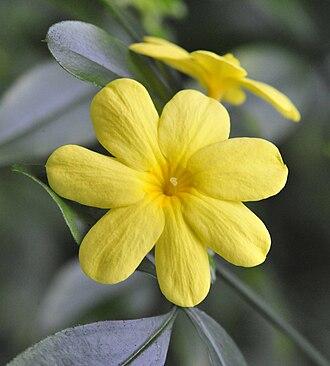 Jasminum mesnyi - Image: Jasminum mesnyi planten un blomen